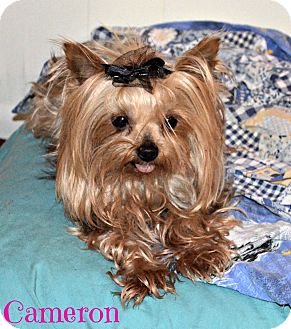 Yorkie, Yorkshire Terrier Dog for adoption in Metairie, Louisiana - Cameron
