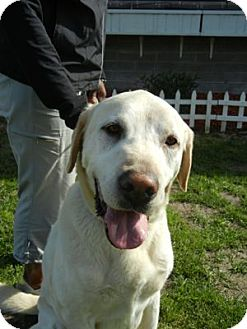 Labrador Retriever Dog for adoption in San Francisco, California - Zeus