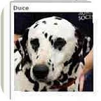 Adopt A Pet :: Duce - League City, TX