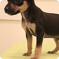 Adopt A Pet :: Primo - Wytheville, VA