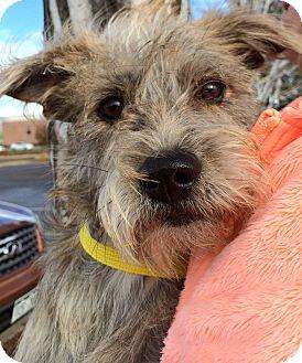 Schnauzer (Miniature)/Terrier (Unknown Type, Small) Mix Puppy for adoption in Boulder, Colorado - Milton-ADOPTION PENDING