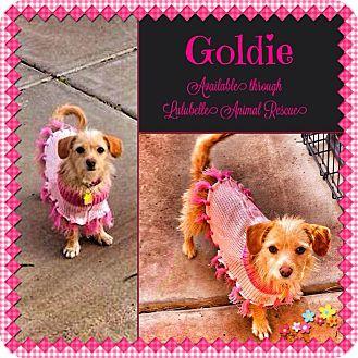 Cairn Terrier/Dachshund Mix Dog for adoption in Phoenix, Arizona - Goldie