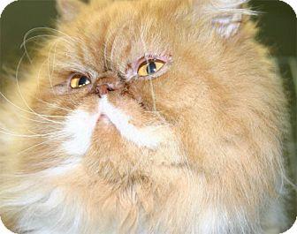 Persian Cat for adoption in Salem, Oregon - Mr Lion