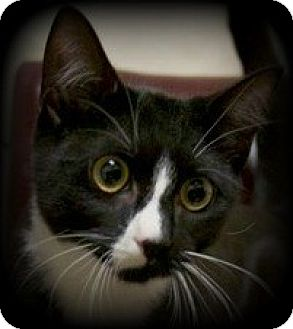 Domestic Shorthair Kitten for adoption in Montclair, New Jersey - Syrup