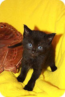 Domestic Shorthair Kitten for adoption in Richmond, Virginia - Hunter