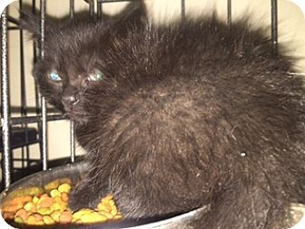Bombay Kitten for adoption in Forest Hills, New York - Coco Channel