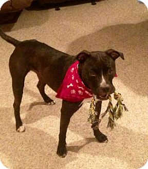 Pit Bull Terrier Mix Dog for adoption in Warrenville, Illinois - Harper