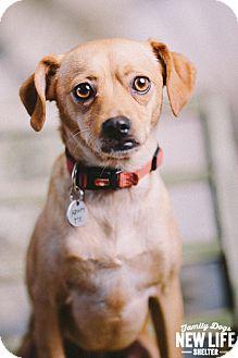 Pug/Beagle Mix Dog for adoption in Portland, Oregon - Beckham