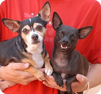 Chihuahua Mix Dog for adoption in Las Vegas, Nevada - Midnight Blue