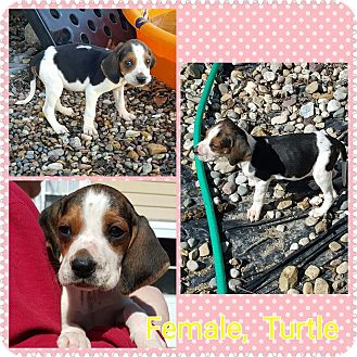 Treeing Walker Coonhound Puppy for adoption in Maryville, Illinois - Turtle