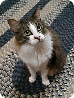 Maine Coon Cat for adoption in Witter, Arkansas - Tabby (Maine Coon mix)