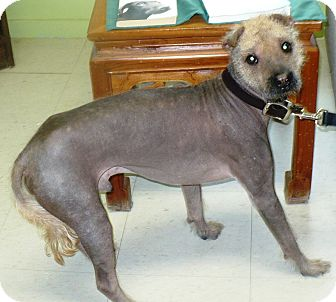 Chinese Crested/Shar Pei Mix Dog for adoption in Eastpoint, Florida - alfred
