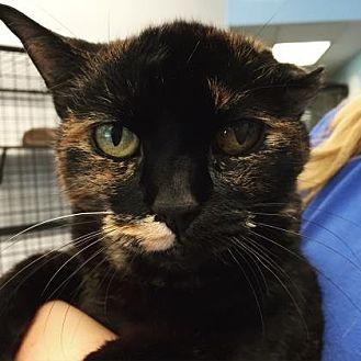 American Bobtail Cat for adoption in Mt. Pleasant, Michigan - Bob the Girl