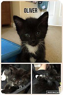 Domestic Shorthair Kitten for adoption in Las Vegas, Nevada - Oliver