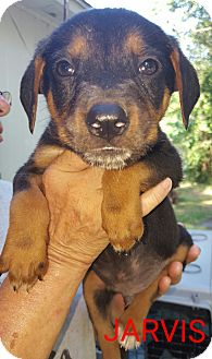 Hound (Unknown Type)/Labrador Retriever Mix Puppy for adoption in albany, New York - Jarvis