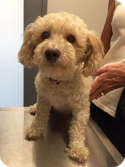 Poodle (Miniature) Mix Dog for adoption in Ardsley, New York - Barnum