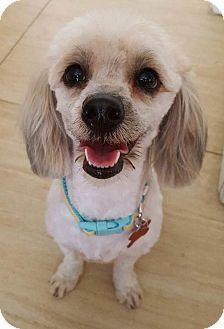 Poodle (Miniature)/Coton de Tulear Mix Dog for adoption in Encino, California - Chula