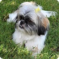 Adopt A Pet :: *Mikki - PENDING - Westport, CT