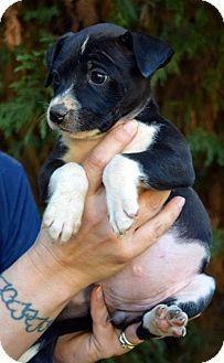 Labrador Retriever/Beagle Mix Puppy for adoption in West Nyack, New York - Betty