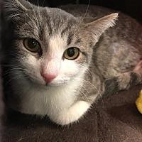 Domestic Shorthair Kitten for adoption in Yorba Linda, California - La Belle
