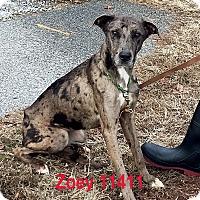 Greyhound/Great Dane Mix Dog for adoption in Manassas, Virginia - Zoey