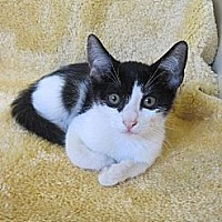 Domestic Shorthair Kitten for adoption in Miami, Florida - Bandit