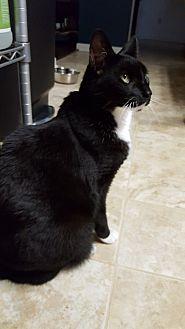 American Shorthair Cat for adoption in Bonaire, Georgia - Leonidas (Leo)