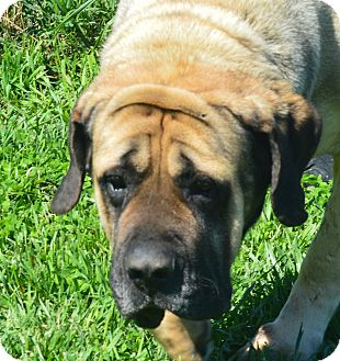 English Mastiff Dog for adoption in Prole, Iowa - Amber