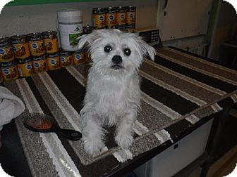 Yorkie, Yorkshire Terrier/Shih Tzu Mix Dog for adoption in Anthony, Florida - Duke