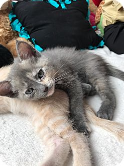 Calico Kitten for adoption in Fort Collins, Colorado - Brin