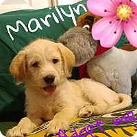 Adopt A Pet :: Marilyn - Hesperia, CA