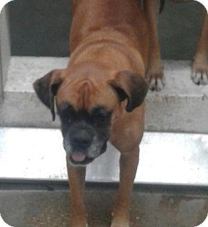 Boxer Dog for adoption in Austin, Texas - Thelma