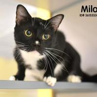 Adopt A Pet :: Milo - Gulfport, MS