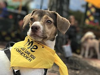 Jack Russell Terrier/Chihuahua Mix Dog for adoption in Rockville, Maryland - Freddy