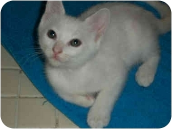 Domestic Shorthair Kitten for adoption in Tampa, Florida - Little Frank