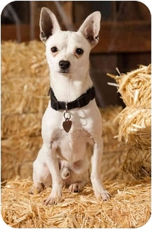 Chihuahua/Jack Russell Terrier Mix Dog for adoption in Portland, Oregon - Tomas