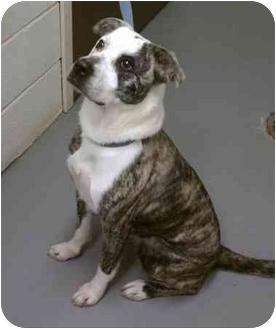Australian Cattle Dog Mix Dog for adoption in Manchester, Connecticut - Gretchen