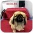 Photo 3 - Pekingese Mix Dog for adoption in Slidell, Louisiana - Rudolph