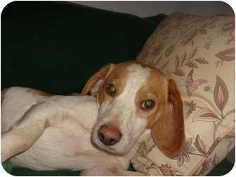 Beagle Dog for adoption in Eden, North Carolina - Chuckie
