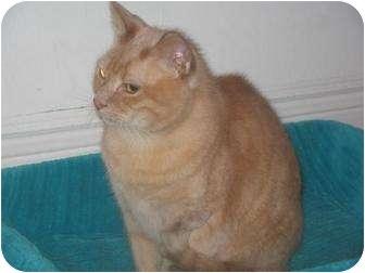 Domestic Shorthair Cat for adoption in Orillia, Ontario - Obie