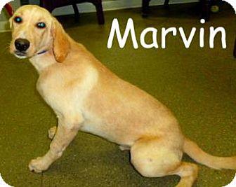 Labrador Retriever Mix Dog for adoption in Georgetown, South Carolina - Marvin