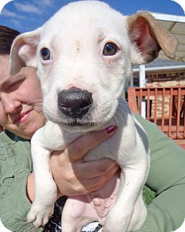 Boxer Mix Puppy for adoption in Howell, Michigan - Boo