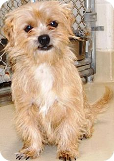 Norfolk Terrier Mix Dog for adoption in San Angelo, Texas - Riley