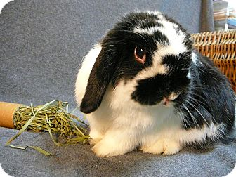 Lop, Holland Mix for adoption in Newport, Delaware - Louella