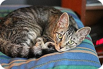 Domestic Shorthair Cat for adoption in Olive Branch, Mississippi - Charlotte