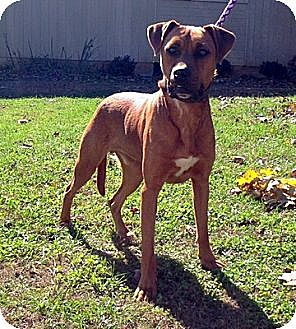 Coonhound Mix Dog for adoption in Baxter, Tennessee - Harley