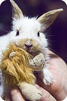 Dwarf Mix for adoption in Los Angeles, California - Cuteness