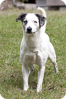 Terrier (Unknown Type, Small) Mix Dog for adoption in Cashiers, North Carolina - Cosmo