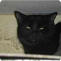 Adopt A Pet :: Johnny Storm - Lombard, IL
