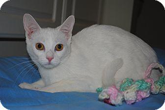 Siamese Cat for adoption in Bay City, Michigan - Mitzi